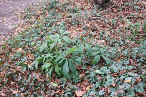 4 helleborus orientalis veneux 5 déc 2014 041.jpg