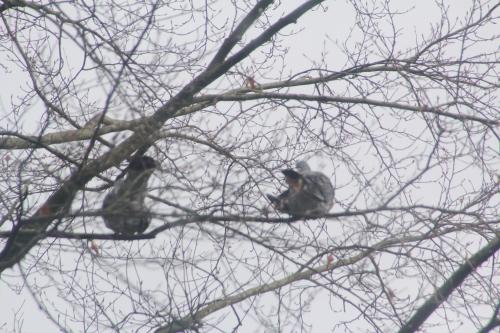 2 pigeons ramiers veneux 7 mars 2018 006.jpg