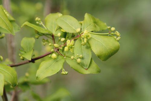 4 euonymus alatus romi 20 avril 2012 005.jpg