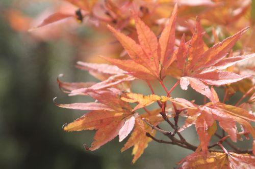 acer palmatum gb 21 oct 2012 171 (5).jpg