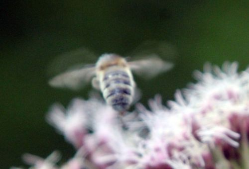 7 abeille romilly 16 août 2012 005.jpg