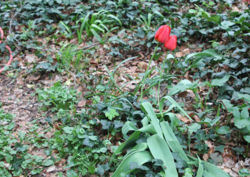 tulipes 10 avril 2012 002.jpg