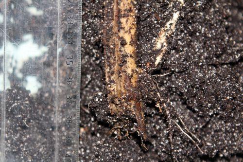 3 monstrosa bouture 3 juin 2012 005.jpg