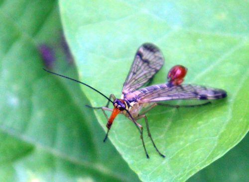 8 panorpa communis romilly 16 juil 2012 319.jpg