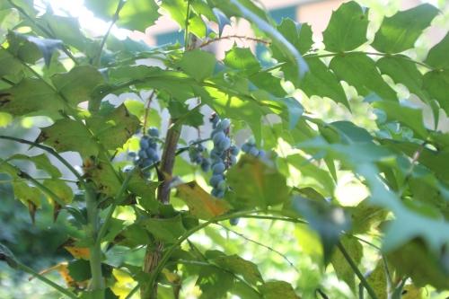 maho hivernant veneux 3 juil 2017 002 (5).jpg