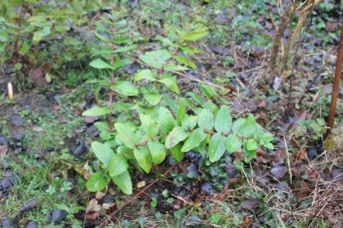 4 hypericum androsaemum romi 2 janv 2015 104.jpg