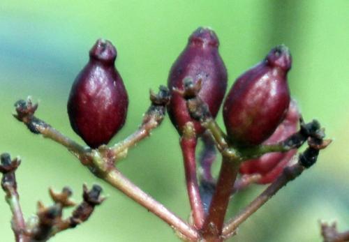 viburnum tinus rec 26 fev 2012 002.jpg