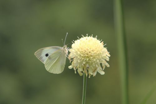 5 cephalaria romi 3 juil  2012 018 (1).jpg