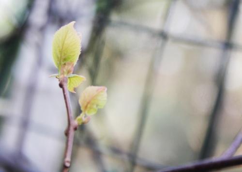 2 actinidia kolomikta mâle veneux 15 fev 2016 016.jpg