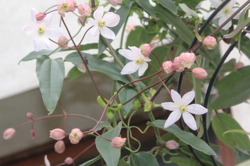 3 clematis apple blossom veneux 24 mars 2017 001 (7).jpg