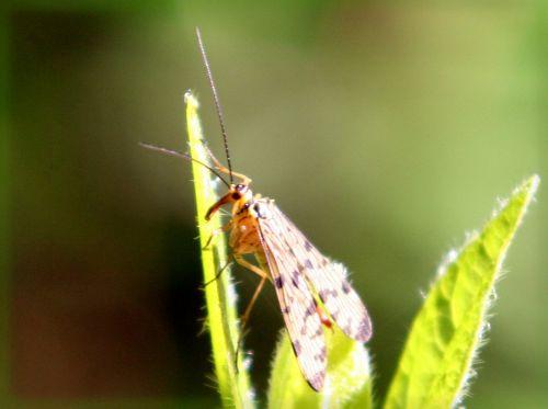 femelle mouche scorpion veneux 30 avril 008.jpg