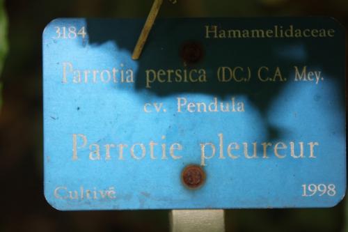 3 parrotia persica barres 11 oct 2014 062 (2).jpg