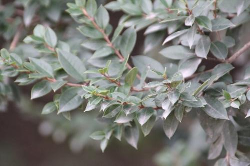 3 luma apiculata paris 10 fév 2015 105.jpg