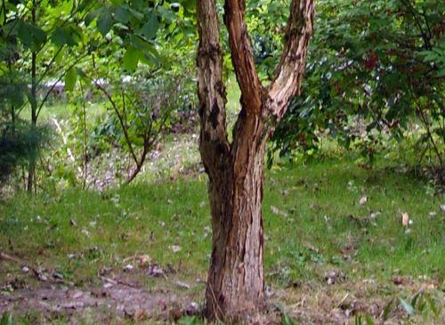 acer nikoense écorce orchaise 11 août 2008 136.jpg