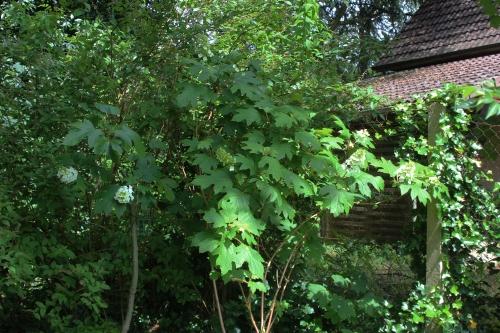 11 hydrangea quercifolia veneux 30 juin 2016 008.jpg