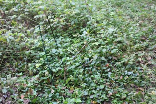 10 quercus pubescens romi 29 oct 2014 055 (1).jpg
