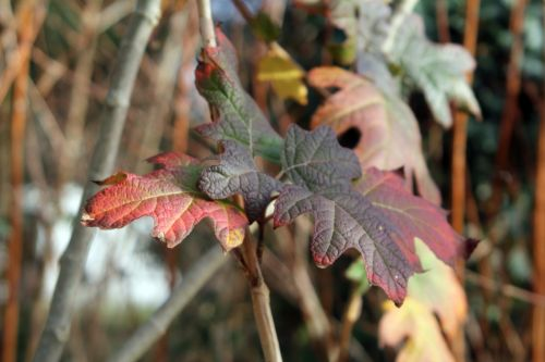 v3 hydrangea quercifolia 26 déc 2012 014 (2).jpg