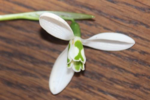 6 galanthus elwesii veneux 4 janv 2016 001 (2).jpg
