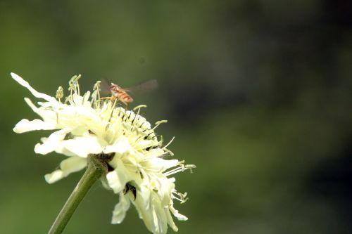 2 cephalaria romi 17 juin 2012 122.jpg
