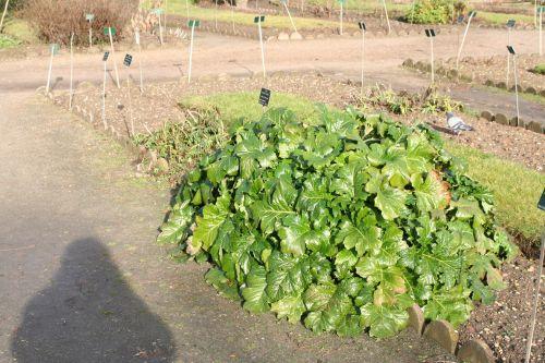 acanthus mollis 3 9 janv 022.jpg