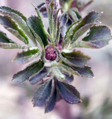 viridis fleurs 29 mars 044.jpg