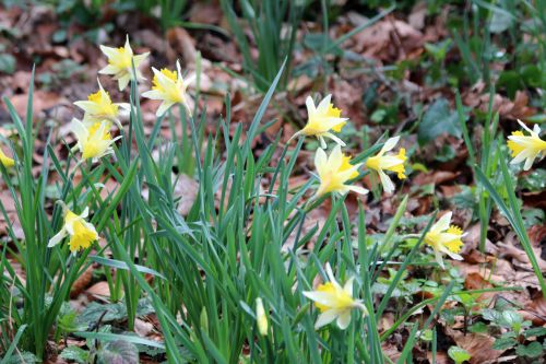 narcissus pseudo veneux 25 fev 2014 013.jpg