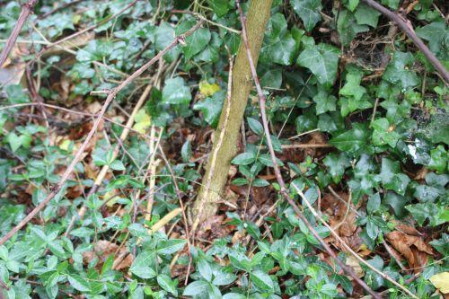 wisteria veneux 21 avril 2014 008 (1).jpg