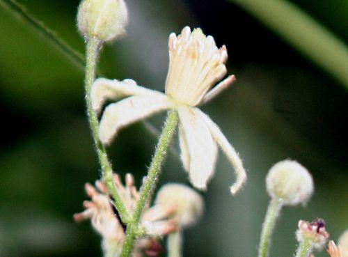 clematis fl romi 10 juil 2010 p 041.jpg