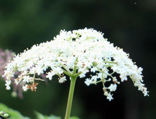 hookeri fleurs romi 24 sept 017.jpg