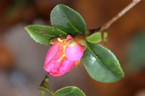9 camellia sasanqua veneux 10 dec 2017 006 (2).jpg