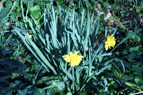 narcisses 21 mars 014.jpg