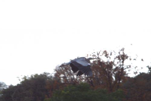 héron vol paris 27 nov 2010 137.jpg