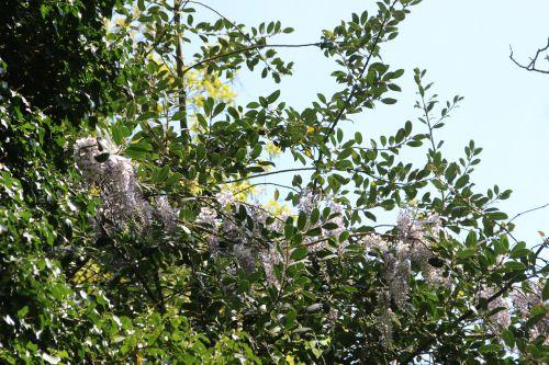 wisteria romi 20 avril 2014 003 (1).jpg