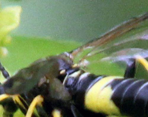 tenthredo temula ailes  romi 28 avril 2012 001.jpg