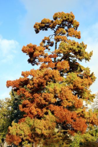 2 taxodium paris 1 dec 2013 234.jpg