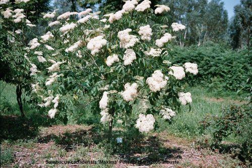 'Maxima' en fleurs Poerop.jpg