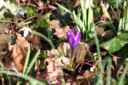 crocus violet veneux 26 fev 016.jpg