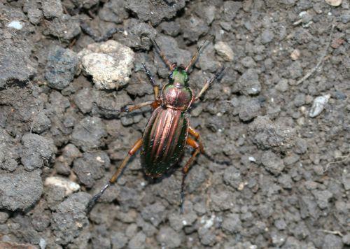 b carabus auratus romi 25 oct 008 (3).jpg