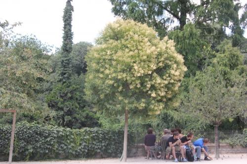 ligustrum lucidum paris 2 juil 2011 362.jpg