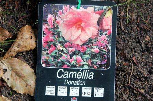 camellia 16 sept 2013 011.jpg