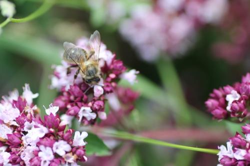 25 origan abeille 16 juil  2012 041 (2).jpg