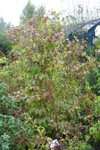callicarpa mollis marnay 25 sept 2008 102.jpg