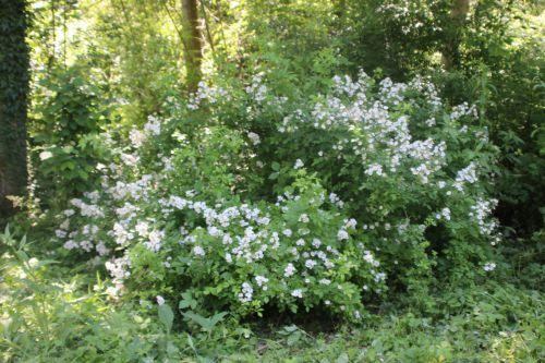 rosa multiflora romi 31 mai 2014 034 (1).jpg