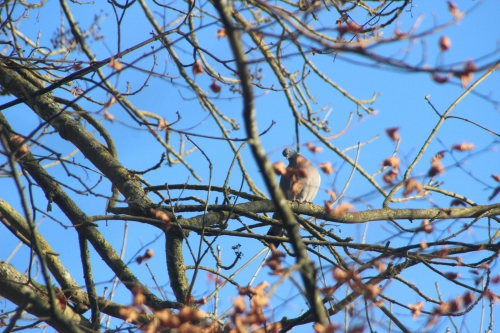 11 pigeon ramier veneux 5 dec 2016 004.jpg