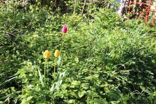 tulipes veneux 18 avril 2016 007.jpg