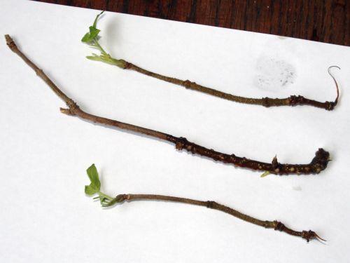 palmensis 3 bout veneux 28 déc 2010 006.jpg
