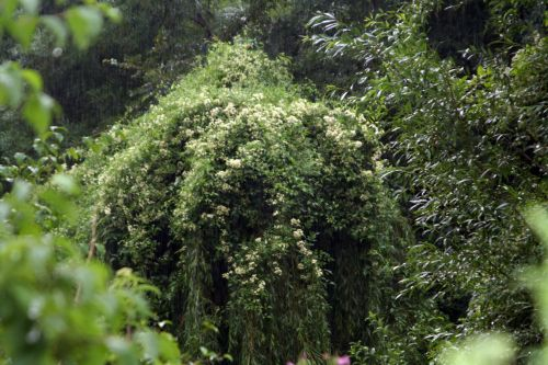 6 clematis salix romi 10 juil 2010 029.jpg