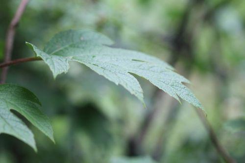 hydrangea quercifolia veneux fe 24 juin 2012 011.jpg
