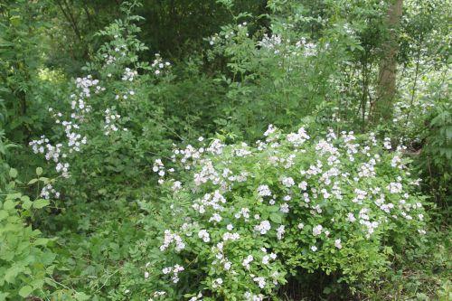 2 rosa multiflora romi 17 juin 2013 049.jpg