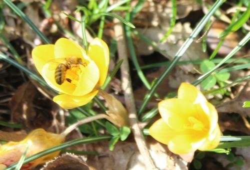 crocus abeille veneux 6 fev 2016 008.jpg